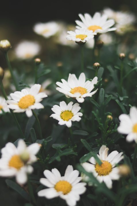 blooming-blossom-chamomile-1166869